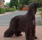 Afghan Hound Black Magic