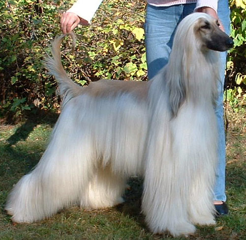 Afghan Hound Champion Araki Gost Buster at Altside.