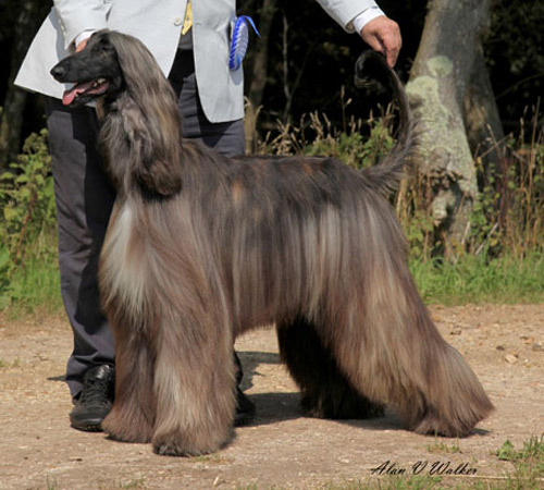 Afghan Hound Champion Gold'n'Copper Catch the Wind at Araki.