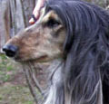 Afghan Hound Champion Altside Singing in the Rain.