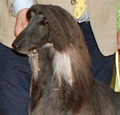 Afghan Hound Champion Altside Black Magic at Chardara.