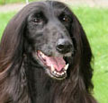 Afghan Hound Champion Altside Tantrums and Tiaras at Yanjoy.